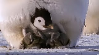 Download Emperor penguins | The Greatest Wildlife Show on Earth | BBC Earth Video