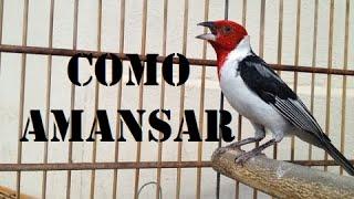 Download Como Amansar Galo De Campina Video