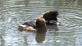 Download Birds of South Africa Pretoria area Video