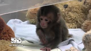 Download Baby Japanese Macaque at Blank Park Zoo Video