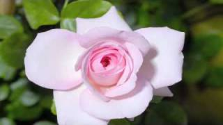 Download Time lapse rose Video