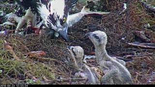 Download Live Fish Fed To Osprey Chicks On Wet Day In Savannah, GA – April 23, 2018 Video