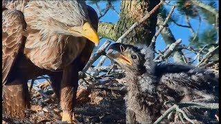 Download Smola Norway Eagle Cam ~ Baroness Feeds Little Eagle ~ Gorgeous Closeups 5.27.18 Video