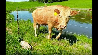 Download Mother cow clearly asks man to rescue her newborn calf Video
