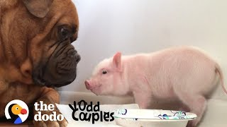 Download Watch This 135 Pound Dog Fall in Love with a Tiny Piglet | The Dodo Odd Couples Video