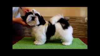 Download Shih Tzu puppy white and black color. kennel Chesvset line Video