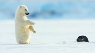 Download Polar Bear Cub Plays With Snowballs Video