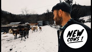 Download I was Scared to Get New Cows, but this is what happened Video
