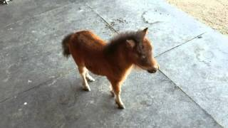 Download Baby miniature horse chasing me Video