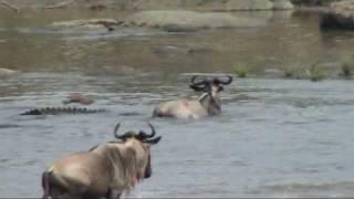 Download Serengeti: Battle at the Mara river; Great migration in the Serengeti Video