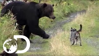 Download Dogs vs Grizzly Bears - Weird, True & Freaky Video