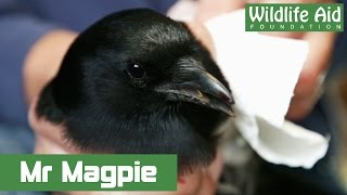 Download Magpie bites the hand of Simon Cowell! Video