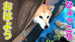 Download 柴犬小春 空腹?朝ひょっこりテントから飛び出すが柴犬 宍粟市キャンプ後編 Video