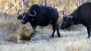 Download Buffaloes Stop 3 Male Lions From Killing Another Lion Video