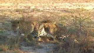 Download Leopards mating Video