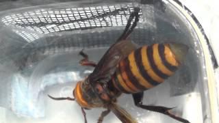 Download Asian Giant Hornet Queen Video