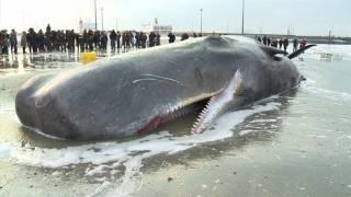 Download Baleia morre encalhada Video