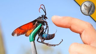 Download STUNG by a TARANTULA HAWK! Video