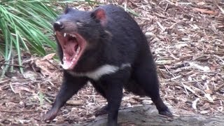 Download The wild Tasmanian Devil Video
