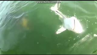 Download Giant sea creature eat a shark on camera. Video