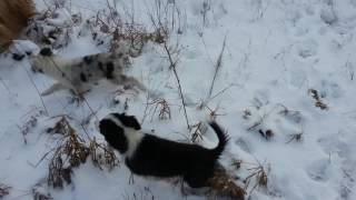 Download Working border collie kennel - puppies for sale Video