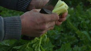 Download Var : La culture du céleri pénalisée par l'interdiction d'un insecticide Video