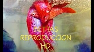 Download Reproducción de bettas en HD |Bettas reproduction process in HD| Video