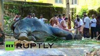 Download India: Watch this elephant undergo excruciating tusk trim Video