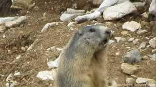 Download La marmotta sentinella fischia Video
