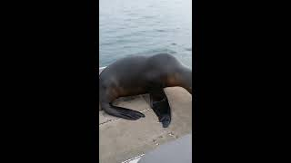 Download Crazy seal pup Video