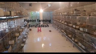 Download A PIGEON FARM IN Dhaka HD Video