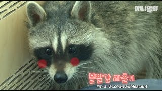Download 라쿤도 피할 수 없는 무서운 병. 중2병. ㅣ How A Restless Raccoon Deals With Puberty LOL Video