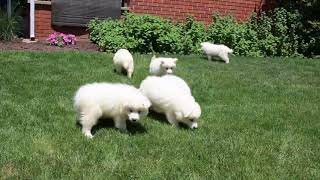 Download Samoyed Puppies For Sale Steven Stoltzfus Video