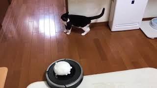 Download ルンバライダー歴1年になる猫 Video