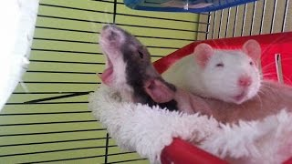 Download Cute pet rats 🐀 Video