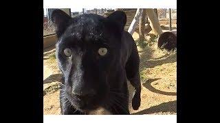 Download Black Leopard Love | African Big Cat Shows Affection Loves Grooming & Being Groomed | Panther Jaguar Video