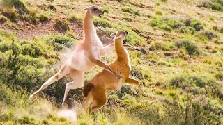 Download Best of South American animals | Top 5 | BBC Earth Video