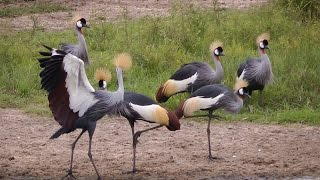 Download Grey Crowned Crane courtship dance Video