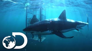 Download The Mango Taniwha   Lair Of The Mega Shark Video