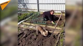 Download Bahçıvanlık yapan ayı yavrusu internet yıldızı oldu Video