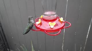 Download Bella Hummingbird Nest Cam 08-09-2018 15:13:35 - 16:13:35 Video