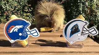 Download Teddy Bear the Porcupine Predicts Super Bowl 50 Winner Video