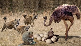Download Ostrich Protects The Successful Egg From The Intelligent Monkey And The Violent Hyena Video