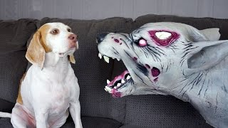 Download Zombie Dog vs. Cute Dog Maymo Video