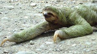 Download Faultier macht Purzelbaum. Funny cute sloth crosses road. Paresseux dopé; Manuel Antonio, Costa Rica Video