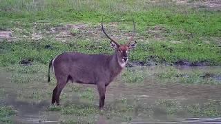 Download Djuma: Waterbuck bull and Impalas - 17:53 - 12/13/19 Video