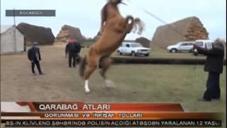 Download Qarabağ atlarının inkışafına xüsusi diqqət Video