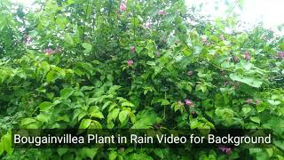 Download Bougainvillea Roadside Plant video for Background Video