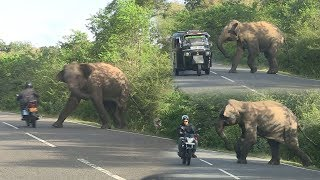 Download wild elephant chasing vehicles at the Katharagama (Sri lanka) Video