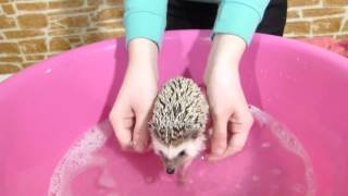 Download Купаем ежика!! SPA for Hedgehog Video